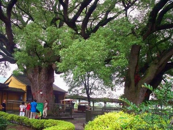 千年古樟植物园-旅游景点-苏州西山农家乐