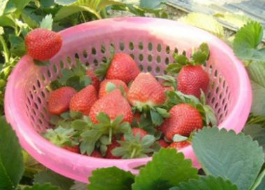 西山岛草莓采摘一日游活动
